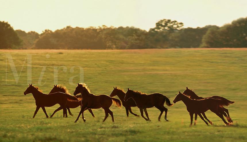 Herd of Thoroughbred yearlings race across open paddock.
