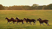 Herd of Thoroughbred yearlings race across open paddock.