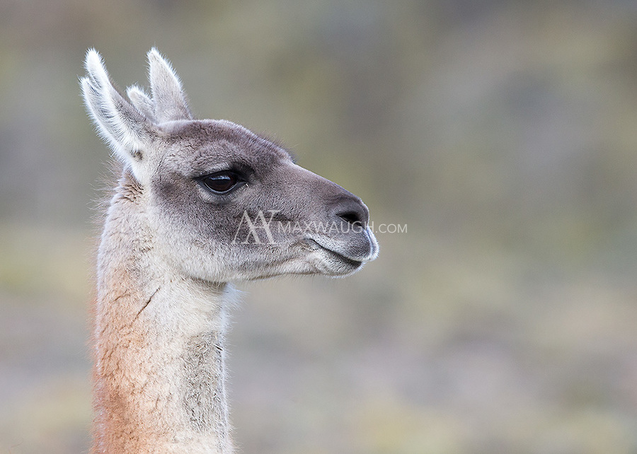 """A """"four point"""" guanaco, with cloven ears."""