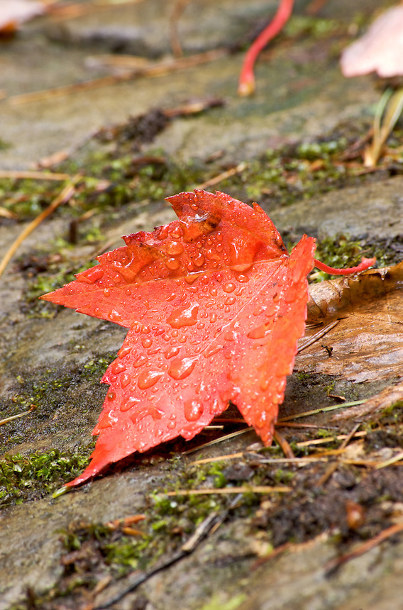 A detailed image a red maple leaf after a rainfall. Upper Peninsula of Michigan.