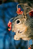Squirrel, Scuirrus niger, eats nut from feeder in evening light, Missouri USA