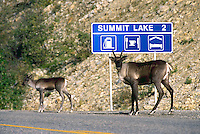 Woodland Caribou Cow and Calf (Rangifer tarandus) standing on Side of Alaska Highway near Summit Lake, Northern BC, British Columbia, Canada