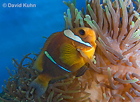 0320-1112  Clark's anemonefish (Yellowtail clownfish), Amphiprion clarkii, with Bulb-tipped Anemone, Entacmaea quadricolor  © David Kuhn/Dwight Kuhn Photography.