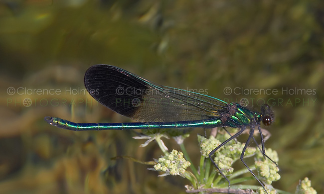 River Jewelwing (Calopteryx aequabilis) Damselfly - Male, Yellowstone National Park, Teton County, Wyoming