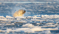 Male Polar Bear (Ursus maritimus) emerges from the icy bay with a shake of his massive head. Classified as marine mammals, these bears are at home in the water and are excellent swimmers.