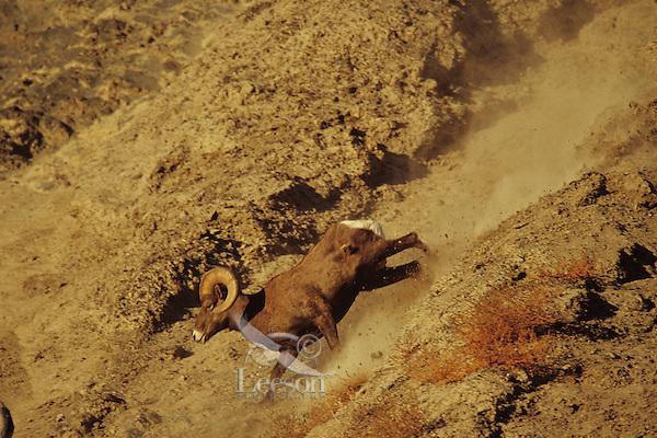 California Bighorn Sheep ram running down steep scree slope.  Western N.A.,  fall.