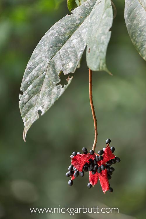 Malay Tropical Chestnut (Sterculia coccinea)(Sterculia lanceolata var. coccinea). Ripe and open seed pod with seed exposed. Danum Valley, Sabah, Borneo (September).