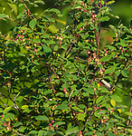 Cedar Waxwing in a Juneberry shrub in northern Wisconsin.
