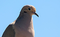 Mourning Dove, Zenaida macroura, in the Desert Botanical Garden, Phoenix, Arizona