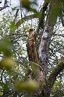 Totholz im Apfelbaum, Obstbaum, Streuobstwiese, im Garten, Naturgarten, Totholz als Lebensraum für Insekten