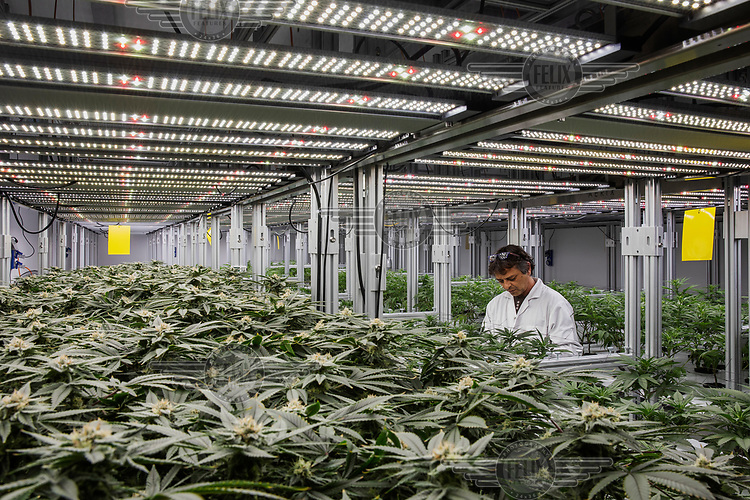 An employee tends plants growing under artificial light in an indoor plantation at Cannassure, an Israeli medicinal cannabis company.