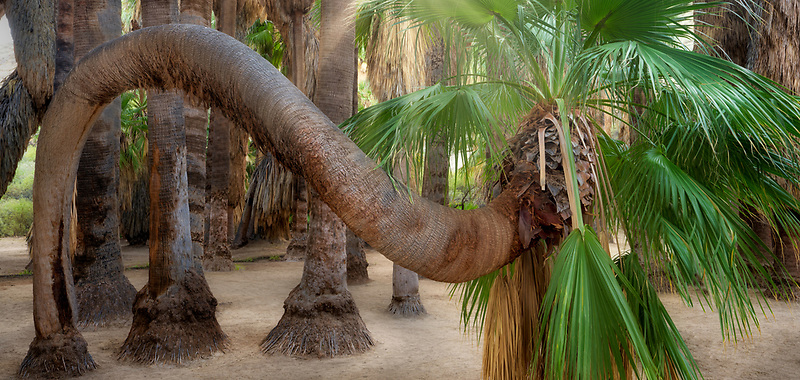 Unique twisted California Fan Palm tree. Palm Canyon. Indian Canyons, Palm Springs, California