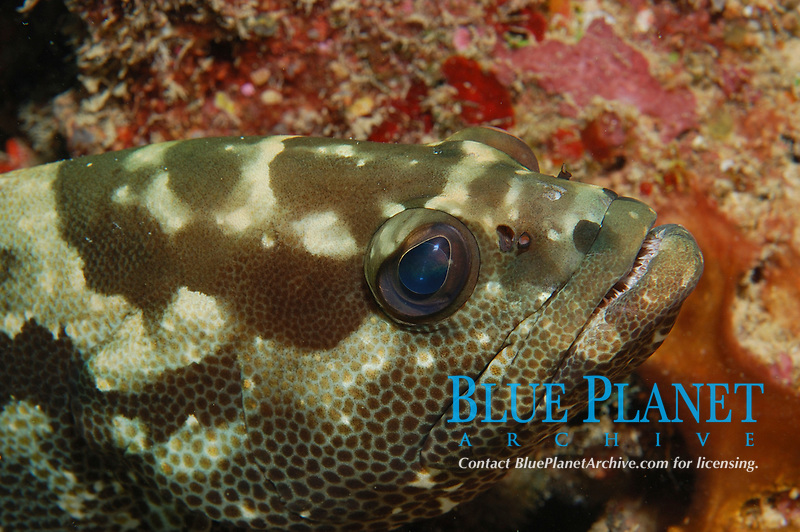 Small-toothed Rock Cod, Epinephelus polyphekadion, Seven Sisters, Beqa Lagoon, Fiji, South Pacific Ocean
