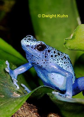 FR24-503z      Blue Poison Arrow Frog, Dendrobates azureus, Central America