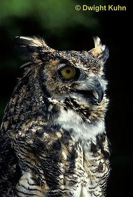 OW06-045a  Great horned owl - Bubo virginianus