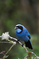 Turquoise Jay (Cyanolyca turcosa), adult,Papallacta, Ecuador, Andes, South America