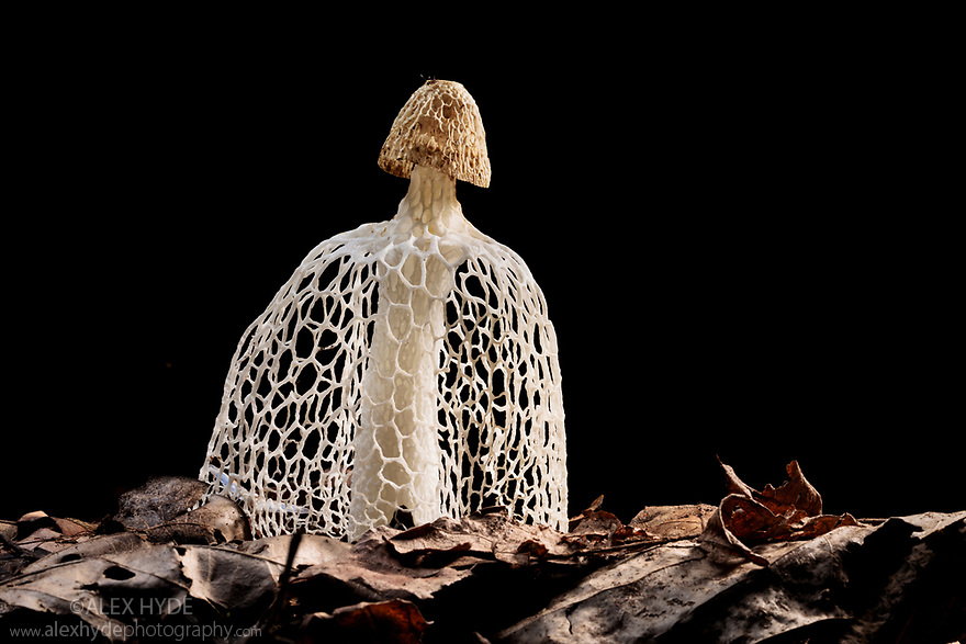 Bridal Veil Stinkhorn (Phallus indusiatus) growing on rainforest floor. The fungal fruiting body gives off a pungent odour that attracts a wide range of invertebrates, which help disperse the spores. Manu Biosphere Reserve, Amazonia, Peru. November.