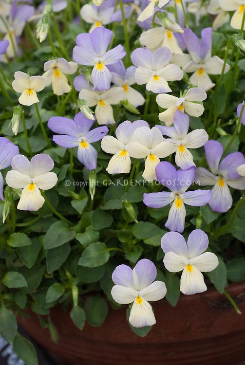 Viola cornuta 'Tinkerbell' pansy violet pansies in spring flowers
