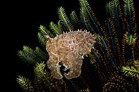 Cuttlefish in Crinoid, Sepia sp., Alam Batu, Bali, Indonesia, Pacific Ocean