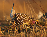 Male sharp-tailed grouse displaying
