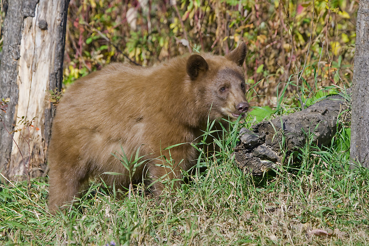 Young Cinnamon Black Bear standing in the grass at the edge of a forest