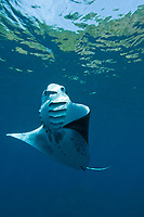reef manta ray, Manta alfredi, performs a barrel roll while feeding on plankton just below the surface. Narcondam Island, Andaman Islands, India, Andaman Sea