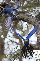 We were fortunate to see a number of macaw species in the Amazon and the Pantanal.
