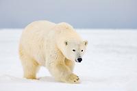 polar bear, Ursus maritimus, on ice and snow, 1002 Coastal Plain of the Arctic National Wildlife Refuge, Alaska, USA