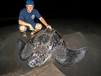 marine biologist Rowan Byrne with nesting leatherback sea turtle, Dermochelys coriacea, Dominica, West Indies, Caribbean, Atlantic