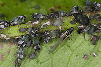 Blattlaus, Blattläuse, Blattlauskolonie, Blattlaus-Kolonie, Schwarze Bohnenlaus, Schwarze Bohnenblattlaus, Aphis cf. fabae, blackfly, black bean aphid, bean aphid, beet leaf aphid