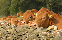 Pedigree Limousin beef heifers looking over a stone wall, Co Durham.