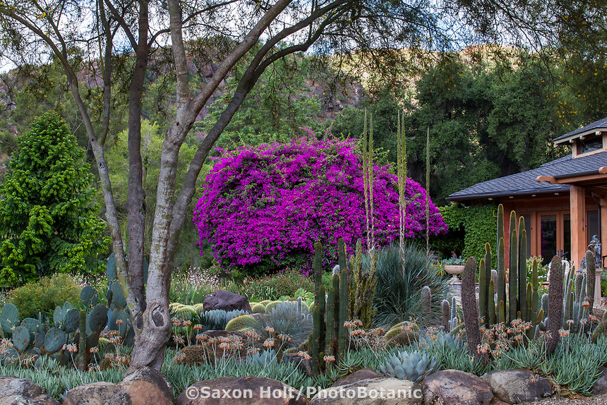 Bougainvillea flowering over succulent garden in Taft Gardens; Ojai, California