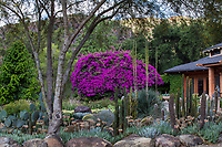 Bougainvillea flowering over succulent garden in Taft Gardens; Ojai, California