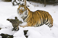 Siberian Tiger lying on top of a snow covered log - CA