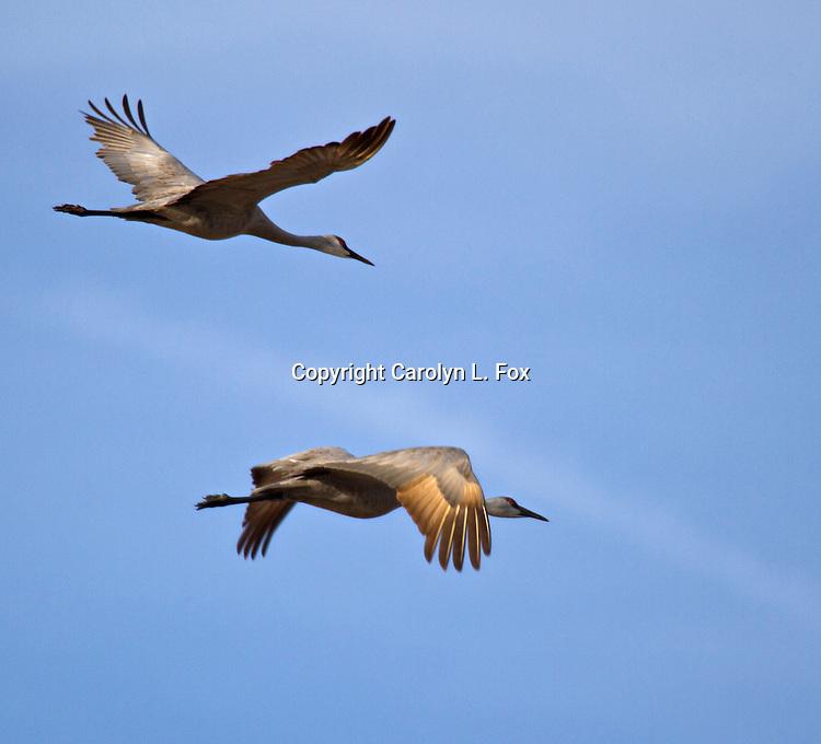 Sandhill Cranes fly over the Nebraska landscape.