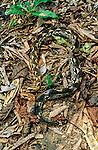 Madagascar Ground Boa (Acrantophis madagascariensis) camouflaged in leaf-litter on forest floor. Ankarana National Park, northern Madagascar.