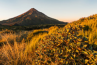 Sunrise over Taranaki with field of alpine plants, Mt. Egmont, Egmont National Park, North Island, New Zealand, NZ