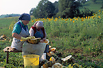 Austria, Styria, women collecting pumpin seeds