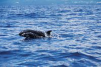 false killer whale, Pseudorca crassidens, Azores Island, Portugal, North Atlantic