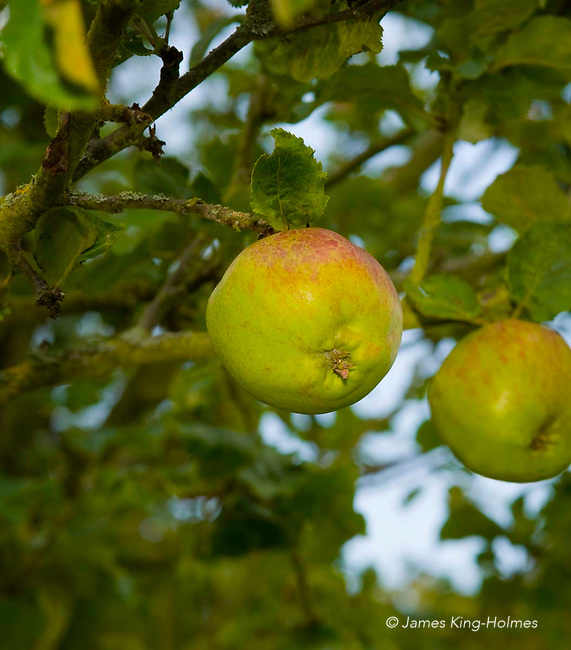 Flower of Kent apples. An 18th Century English eating apple, said to have been known to Sir Isaac Newton.