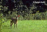 MA11-005d   White-tailed Deer - Odocoileus virginianus