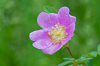 Wild Rose or Nootka Rose (Rosa nutkana) blossom after rain.  Common wildflower of Pacific Northwest.  May-June.