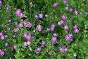 Red Campion (Silene dioica) and Herb Robert (Geranium robertianum) Devon, UK. June.