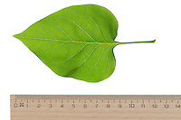 Garten-Flieder, Flieder, Gemeiner Flieder, Syringa vulgaris, Common Lilac, French Lilac, Le lilas commun, lilas français. Blatt, Blätter, leaf, leaves