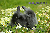 Kim, EASTER, OSTERN, PASCUA, photos,+Young rabbits among Spring primrose flowers.,++++,GBJBWP41624,#e#
