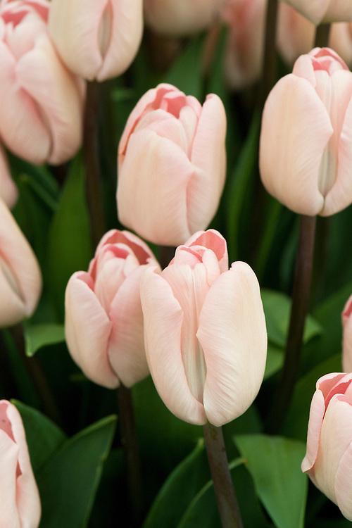 Tulip 'Douglas Bader' (sometimes Single Late Group, sometimes Triumph Group).
