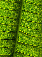 A close-up of a plumeria leaf shows the complexity of its pattern and vein detail, Hawai'i.