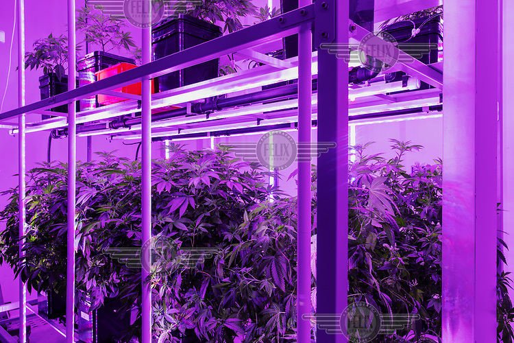 Cannabis plants growing under artificial light in an indoor plantation at Cannassure, an Israeli medicinal cannabis company.
