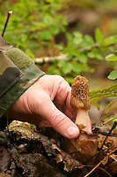 Hand picking Yellow Morel growing on forest floor. Cascade Mountains, Washington.
