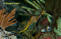 TP10-525z Weedy Sea Dragon, Phyllopteryx taeniolatus